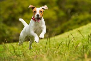 perro-feliz-corriendo