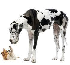 Los perros de tamaño gigante y su alimentación.